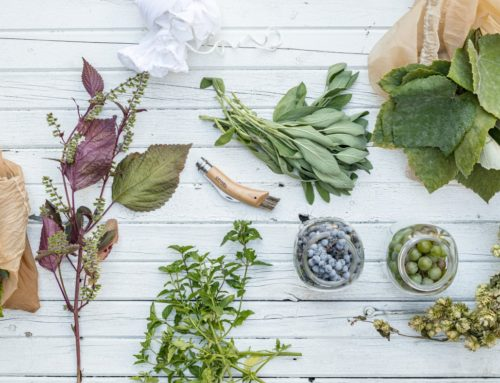 Flavouring Fermented Drinks With Wild Plants From Canada